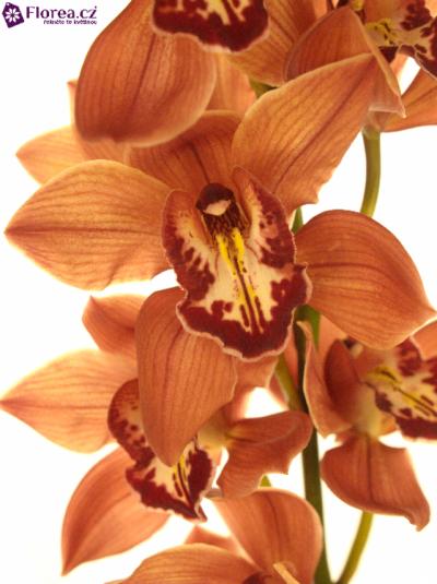 Orchidej T FREDERICA 50cm