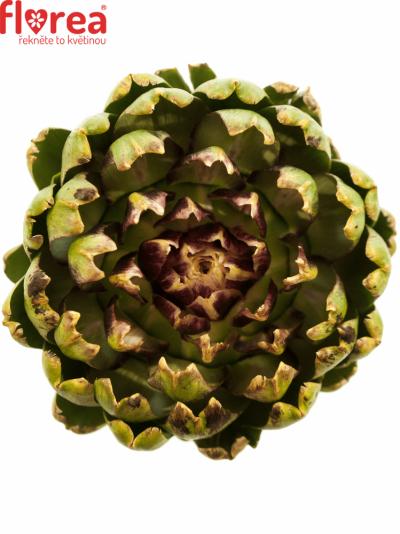 Cynara SCOLYMUS GREEN GLOBE 35cm