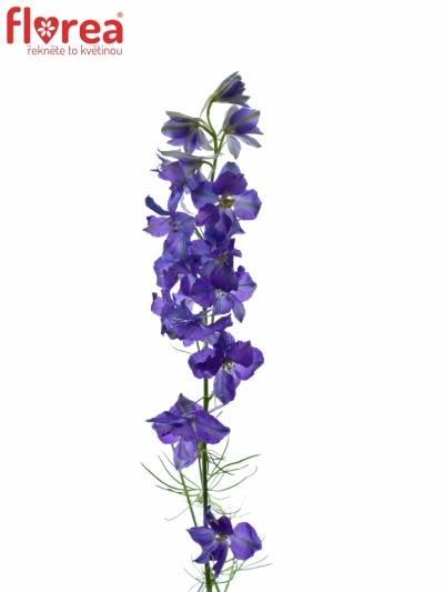 DELPHINIUM BLUE 70cm