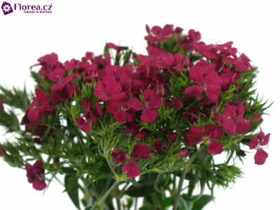 DIANTHUS BARBATUS AMAZON NEON CHERRY 50cm
