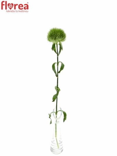 DIANTHUS BARBATUS GREEN TRICK 35cm