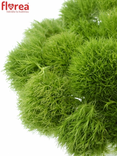 DIANTHUS BARBATUS GREEN TRICK 50cm