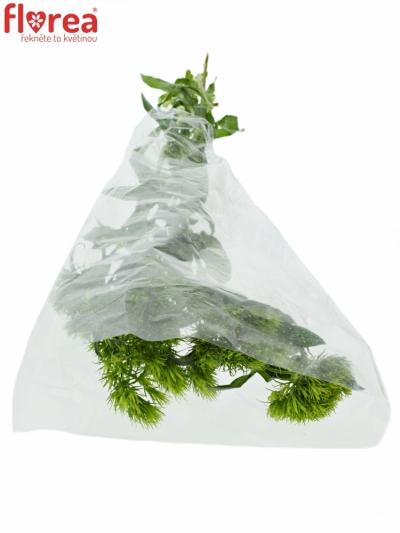 DIANTHUS BARBATUS GREEN WICKY 50cm