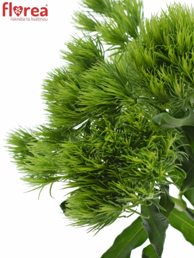 DIANTHUS BARBATUS GREEN WICKY 70cm