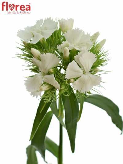 DIANTHUS BARBATUS SWEET WILL WHITE 45cm