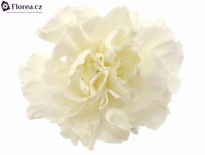 Dianthus ST DELICIA 65