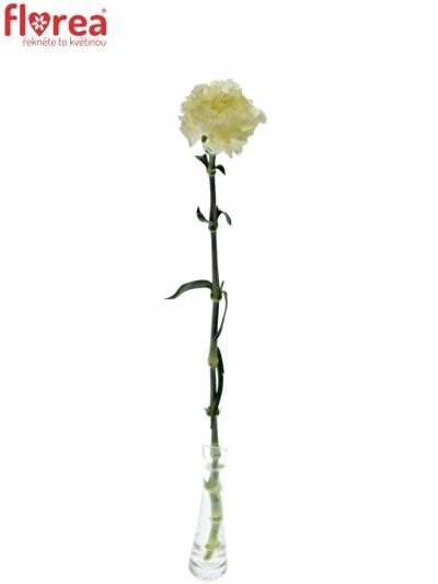 DIANTHUS ST DILETTA CREMA 55cm