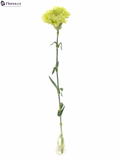 DIANTHUS ST LADY SPRING 65cm