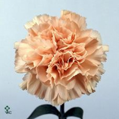 DIANTHUS ST LIGHT PINK CANDY