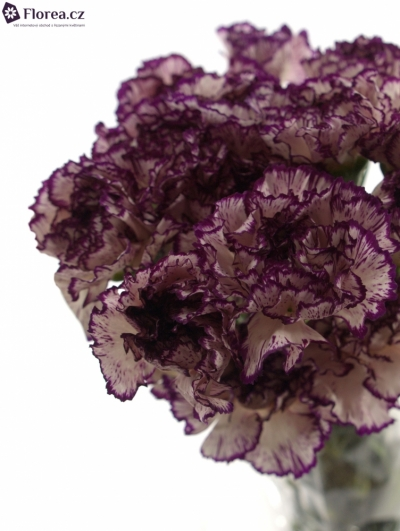 DIANTHUS ST OLYMPIA