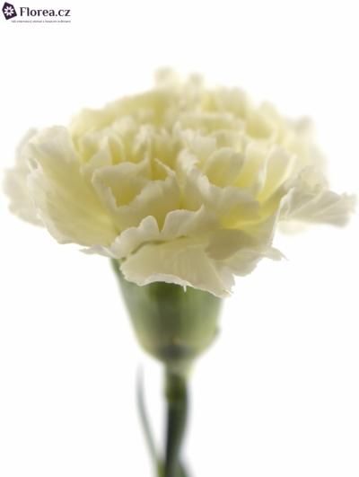 DIANTHUS ST WHITE LIBERTY 45cm