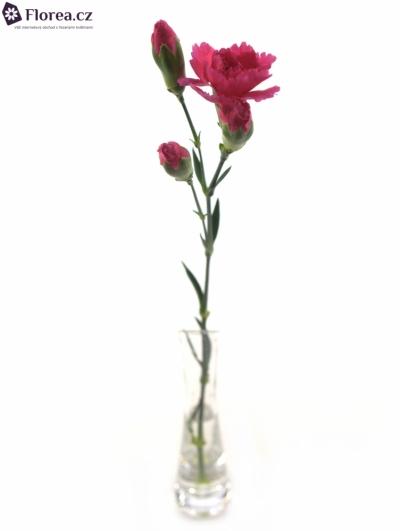 DIANTHUS TR CELINE 60cm/4+
