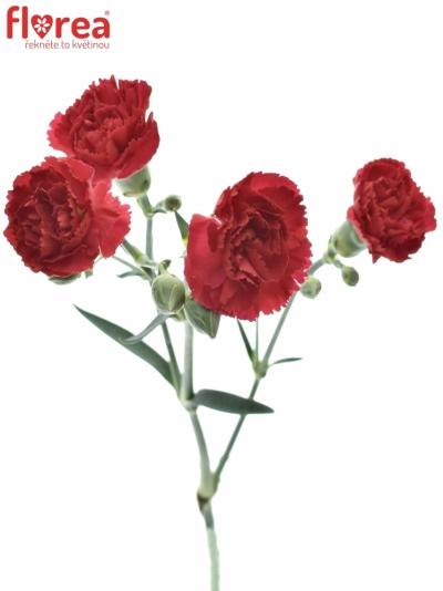DIANTHUS TR CERISE ROSY BARBARA