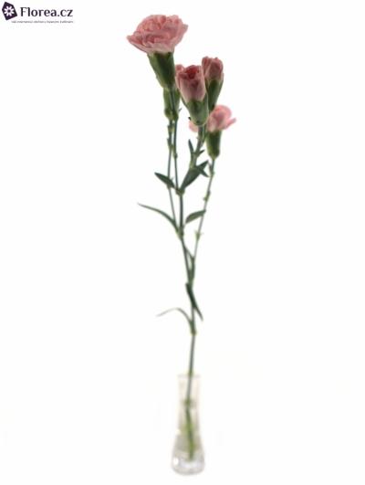 DIANTHUS TR NIRVANA 55cm/4+