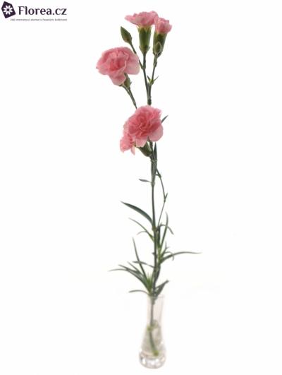 DIANTHUS TR PINK AMELIE 60cm/6+