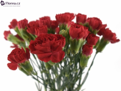 DIANTHUS TR RED KISS 60cm/4+