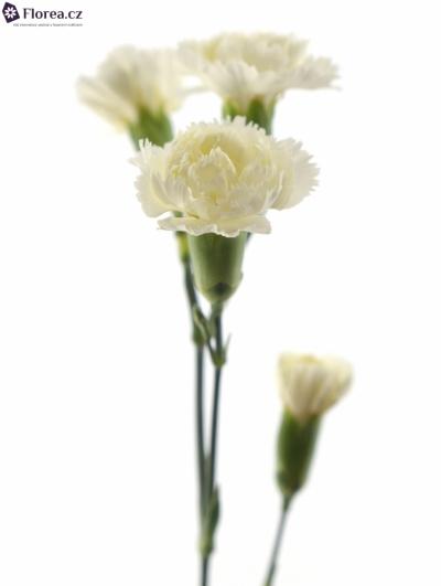 DIANTHUS TR WHITE ASHLEY 60cm/4+