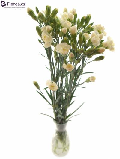 DIANTHUS TR WHITE FLEURETTE 60cm/4+