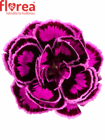 DIANTHUS TROPIC BUTTERFLY