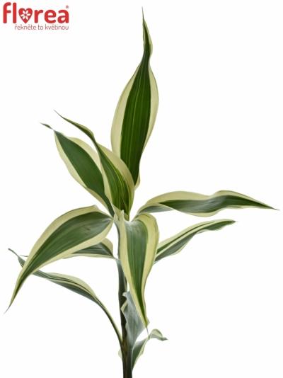 DRACAENA SANDERIANA WHITE 50cm