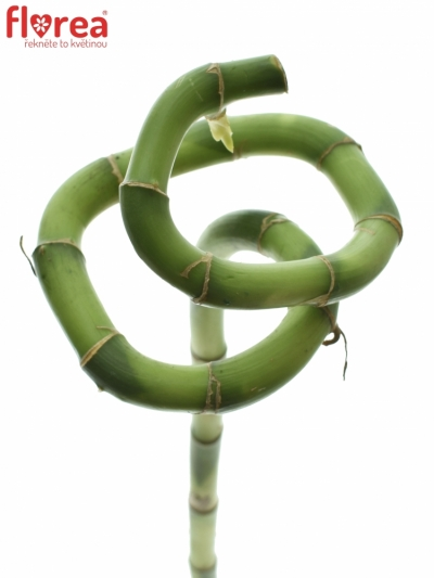 DRACEANA LUCKY BAMBOO SPIRAL 50cm