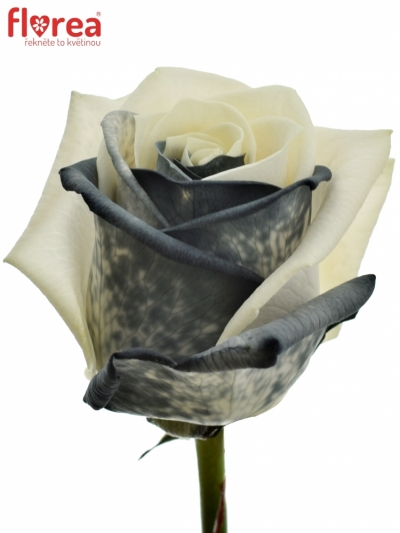 ROSA RAINBOW BLACKWHITE 75cm (M)