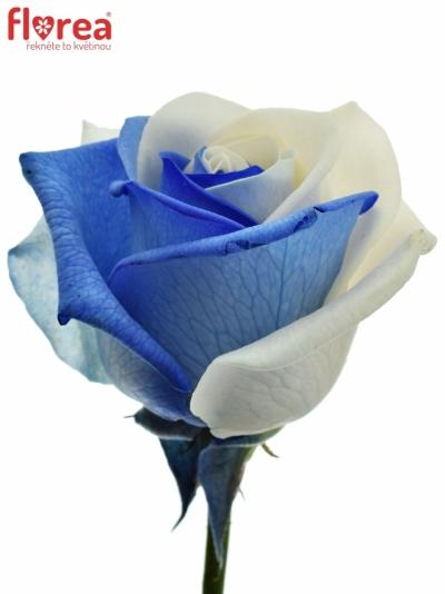 Duhová růže RAINBOW BLUEWHITE 70cm (M)