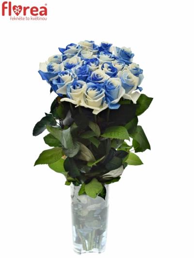 Duhová růže RAINBOW BLUEWHITE 60cm (XXL)