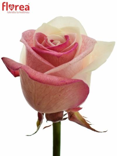 Duhová růže RAINBOW JAPAN 75cm (M)