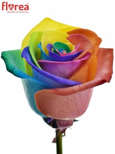 Duhová růže RAINBOW 75cm (M)