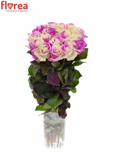 Duhová růže RAINBOW PINKWHITE 60cm (XXL)