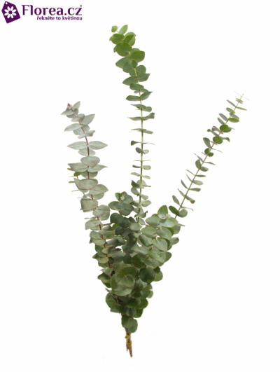 EUCALYPTUS BABY BLUE LONG 150g