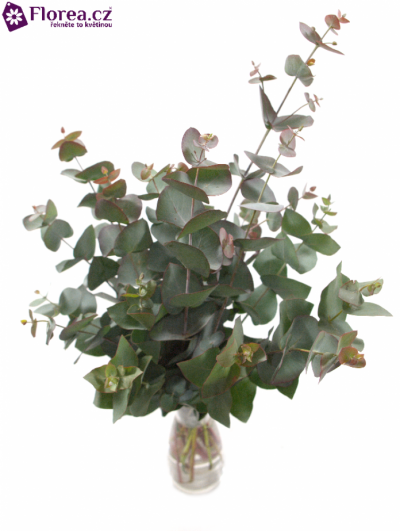 EUCALYPTUS CINEREA RED 200g