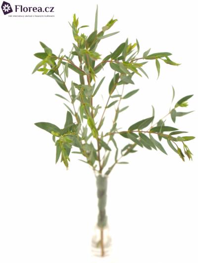EUCALYPTUS PARVIFOLIA LONG 70cm/200g