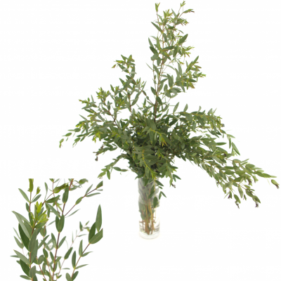 EUCALYPTUS PARVIFOLIA LONG 70cm/400g