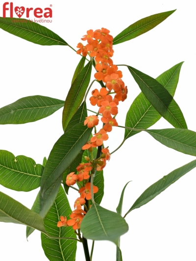 Euphorbia FULGENS QUEEN OF ORANGE 65cm