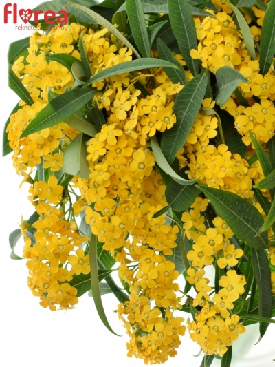 Euphorbia FULGENS CREAM YELLOW RIVER 70cm