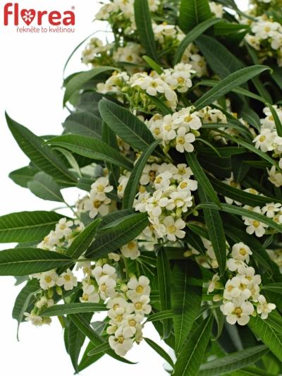 Euphorbia FULGENS QUICKSILVER 70cm