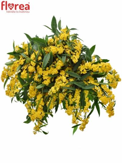 Euphorbia FULGENS YELLOW RIVER 70cm