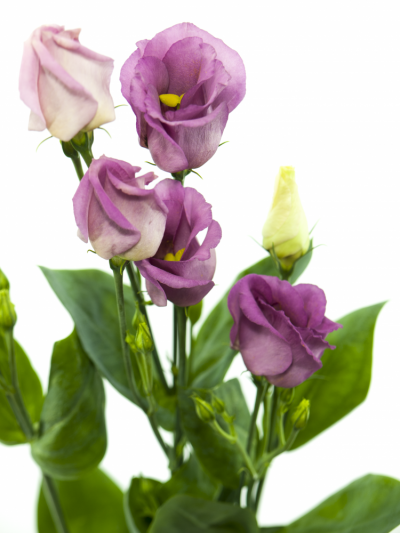 EUSTOMA E MIX 60cm