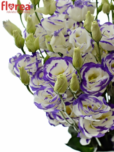 EUSTOMA EXCALIBUR BLUE PICOTEE 70cm/5+