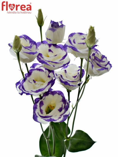 EUSTOMA EXCALIBUR BLUE PICOTEE 65cm/5+