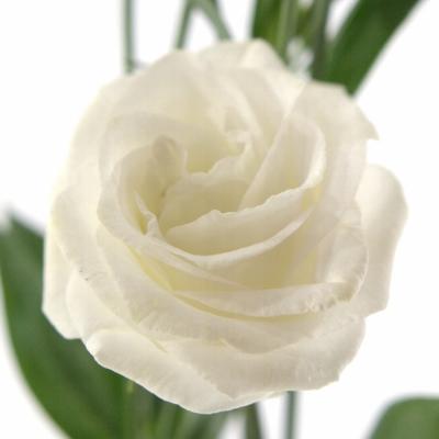 EUSTOMA G CESSNA WHITE