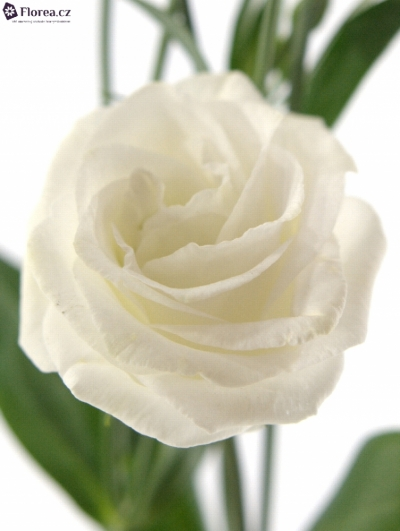 EUSTOMA EXCALIBER PURE WHITE 70cm/4+