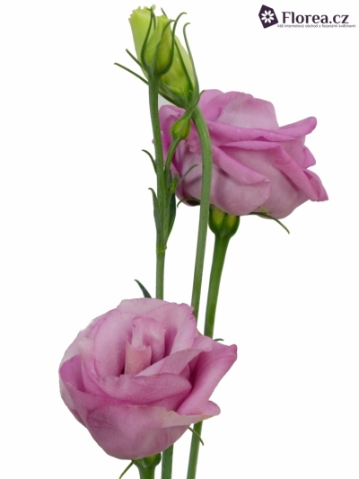 EUSTOMA HOT PINK 60cm/3+