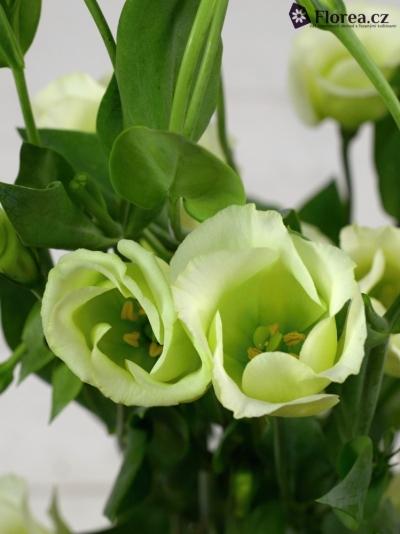 Jícnovka PICCOLO GREEN 75cm/5+