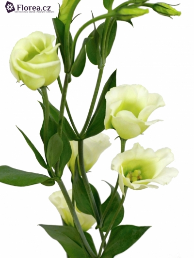 EUSTOMA PICCOLO GREEN 65cm/3+