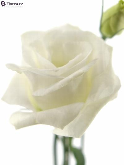 EUSTOMA PICCOLO WHITE
