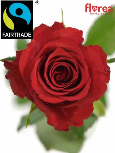 Fairtrade svazek růží ROSA RED CALYPSO 50cm (M)