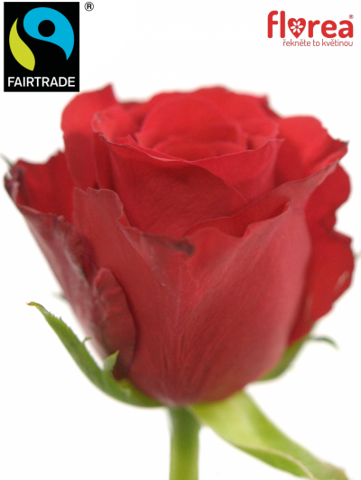 Fairtrade svazek růží ROSA RED CALYPSO 50cm (S)